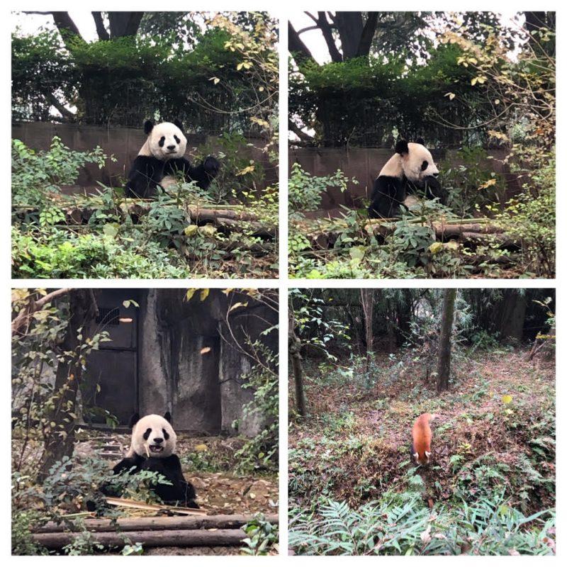 panda-rxesearch-center-chengdu